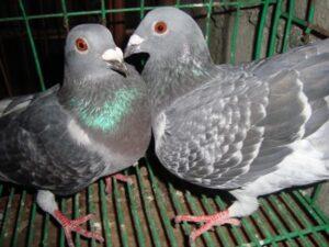 Pairing Racing Pigeons